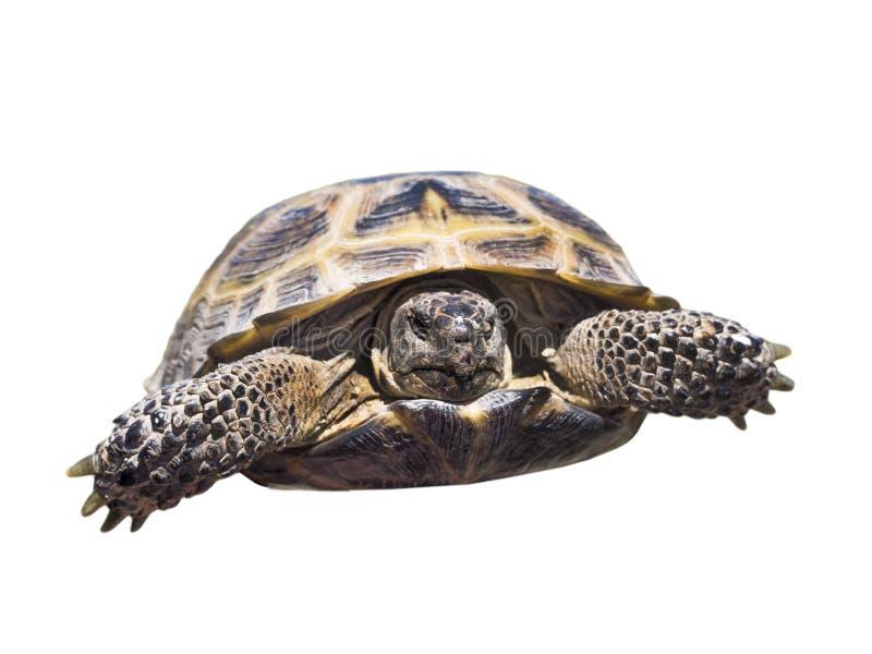 Geïsoleerde schildpad stock afbeelding