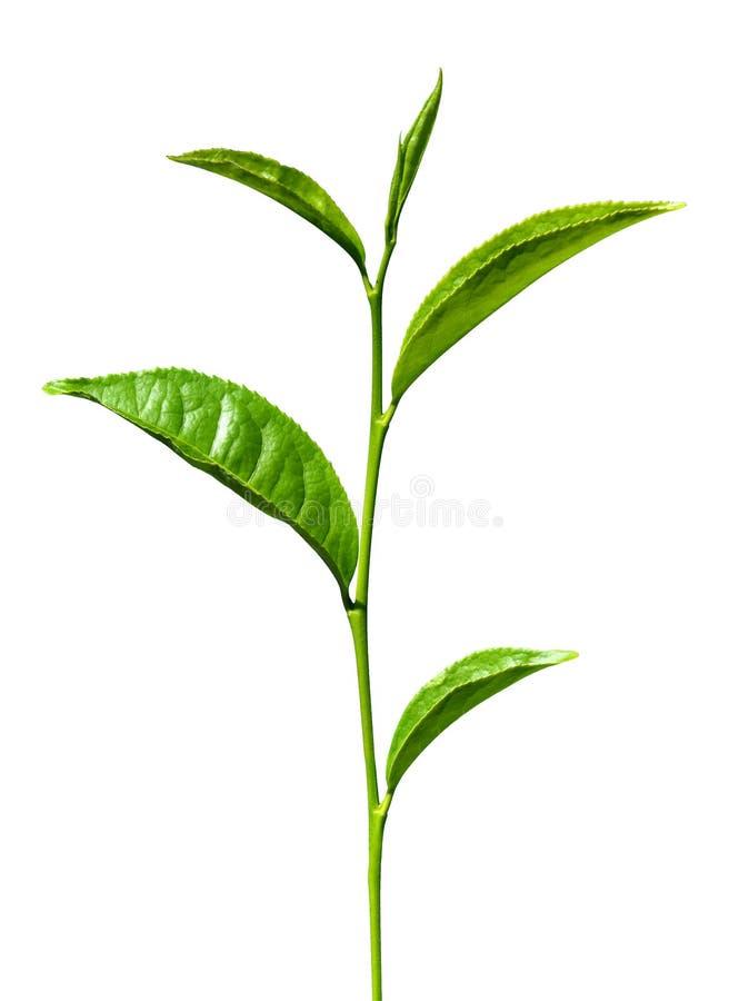 Geïsoleerde thee groene bladeren royalty-vrije stock afbeeldingen