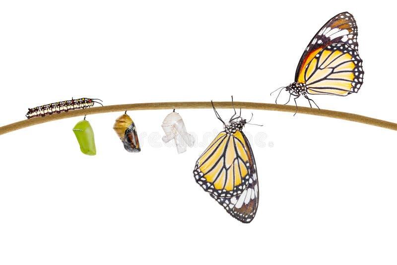 Geïsoleerde transformatie die van gemeenschappelijke tijgervlinder te voorschijn komen uit stock foto
