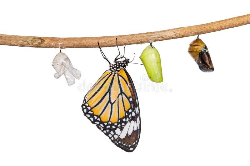 Geïsoleerde transformatie die van gemeenschappelijke tijgervlinder uit cocon te voorschijn komen royalty-vrije stock foto