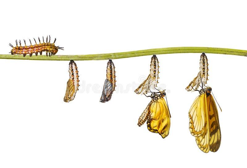 Geïsoleerde transformatie van gele isso van Acraea van de costervlinder royalty-vrije stock foto's