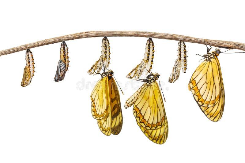 Geïsoleerde transformatie van gele isso van Acraea van de costervlinder royalty-vrije stock afbeeldingen
