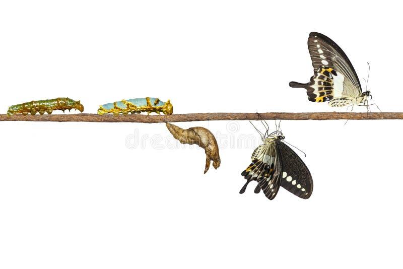 Geïsoleerde transformatie van gestreepte swallowtail vlinder Papilio stock fotografie