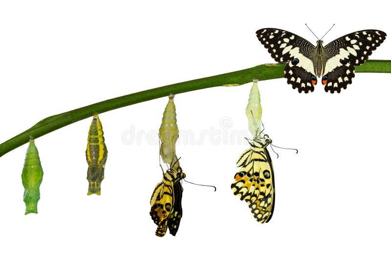 Geïsoleerde transformatie van Kalkvlinder op wit stock foto's