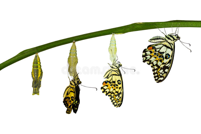 Geïsoleerde transformatie van Kalkvlinder op wit royalty-vrije stock afbeelding