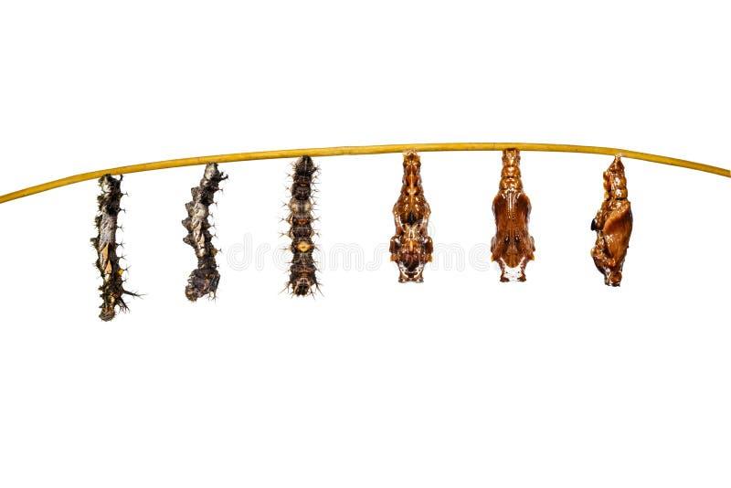 Geïsoleerde transformatierupsband aan poppen van bevelhebber butterf royalty-vrije stock fotografie