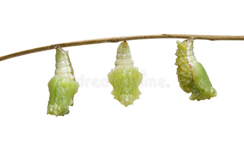 Geïsoleerde transformatierupsband van Gestreepte katvlinder Pseudergolis die wedah aan pop op wit voorbereidingen treffen royalty-vrije stock foto's