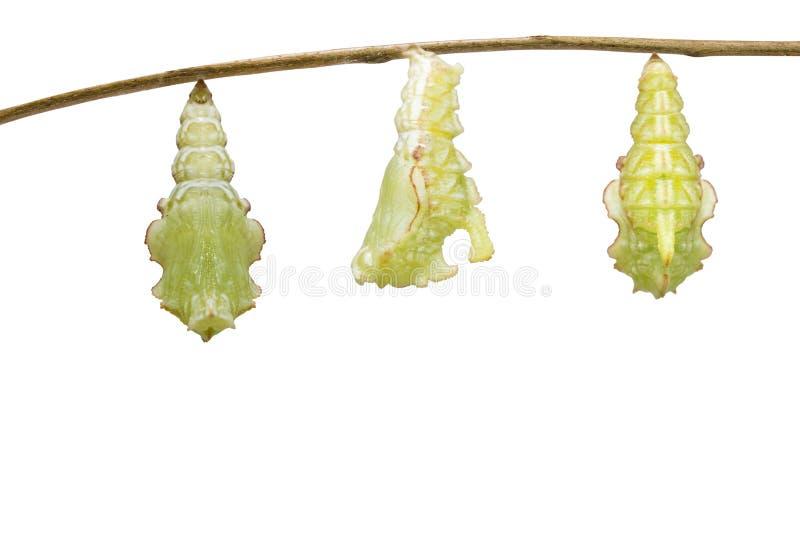 Geïsoleerde transformatierupsband van Gestreepte katvlinder Pseudergolis die wedah aan pop op wit voorbereidingen treffen stock foto