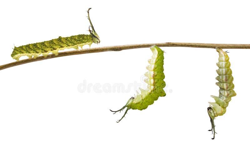 Geïsoleerde transformatierupsband van Gestreepte katvlinder Pseudergolis die wedah aan pop op wit voorbereidingen treffen stock afbeelding