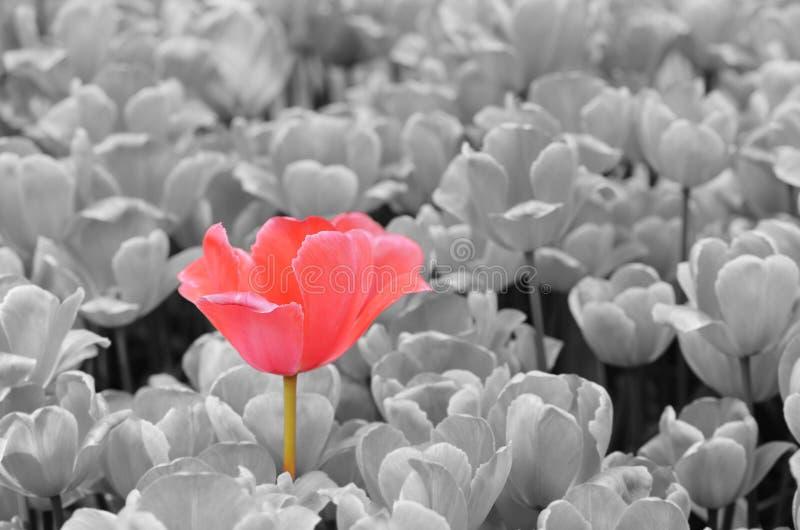 Geïsoleerde tulp royalty-vrije stock foto's