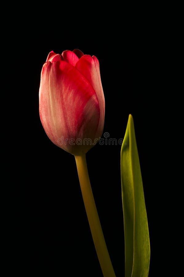 Geïsoleerde tulp royalty-vrije stock fotografie
