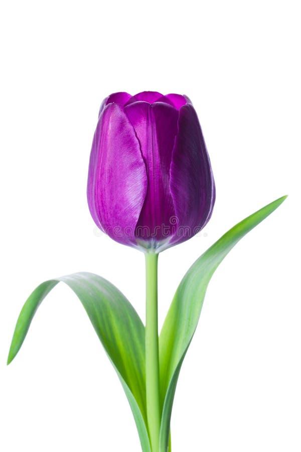 Geïsoleerde tulpenbloem stock foto