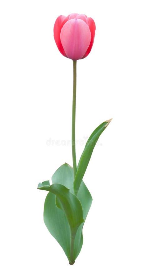 Geïsoleerde tulpenbloem royalty-vrije stock afbeelding