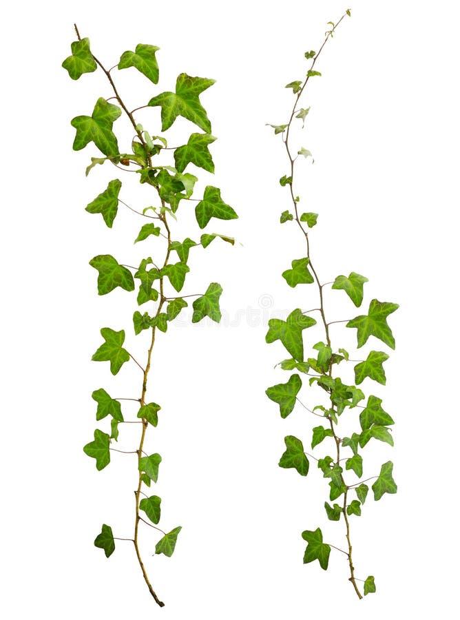 Geïsoleerde twijg van klimop met groene bladeren stock afbeeldingen