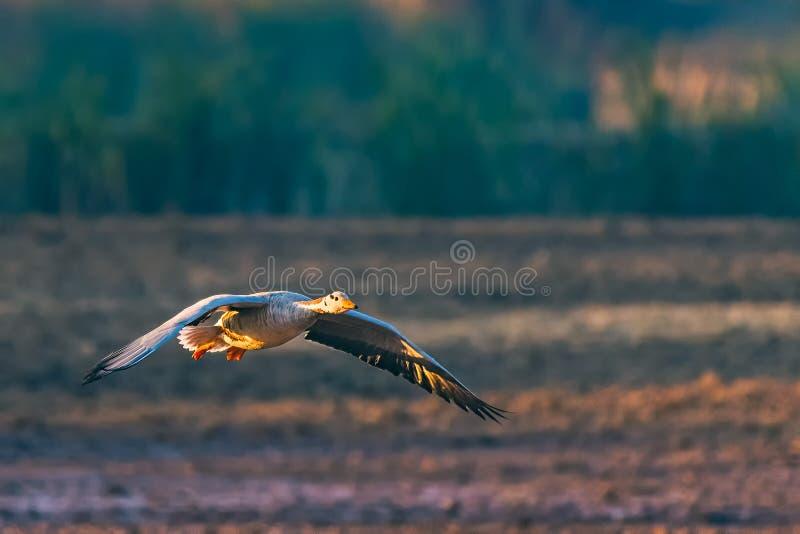 Geïsoleerde Vliegende Gans in Lucht stock fotografie