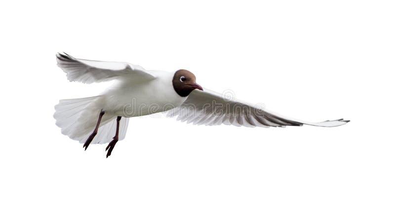 Geïsoleerde vliegende witte meeuw met zwarte kop stock afbeeldingen