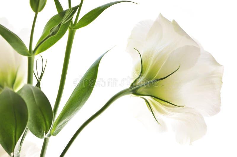Geïsoleerde witte bloemen stock foto's