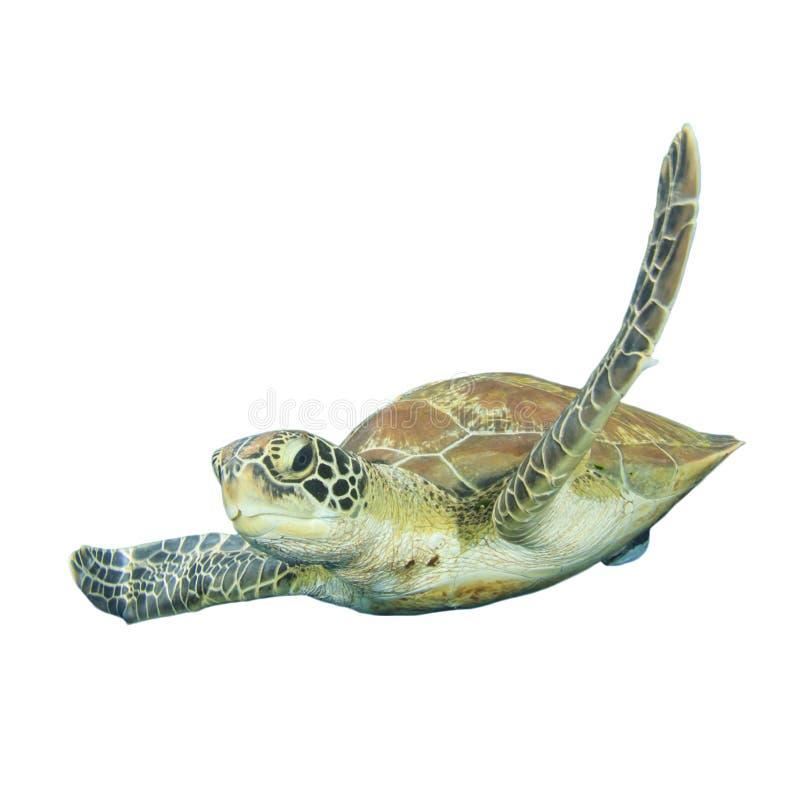 Geïsoleerde zeeschildpad stock afbeeldingen
