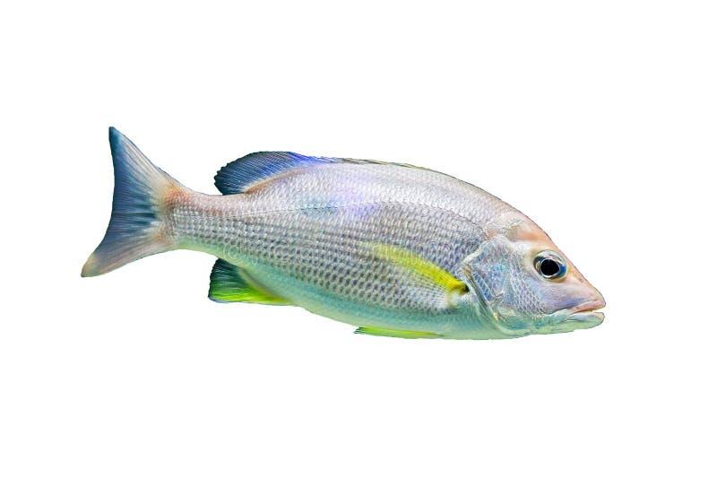 Geïsoleerde zilveren toppositievissen royalty-vrije stock afbeelding