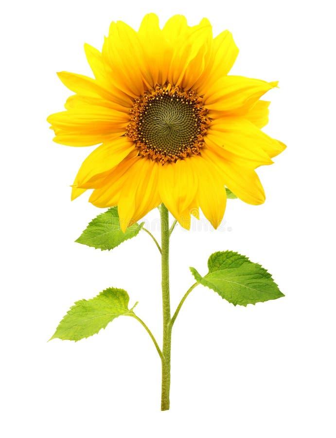 Geïsoleerde zonnebloeminstallatie stock foto's