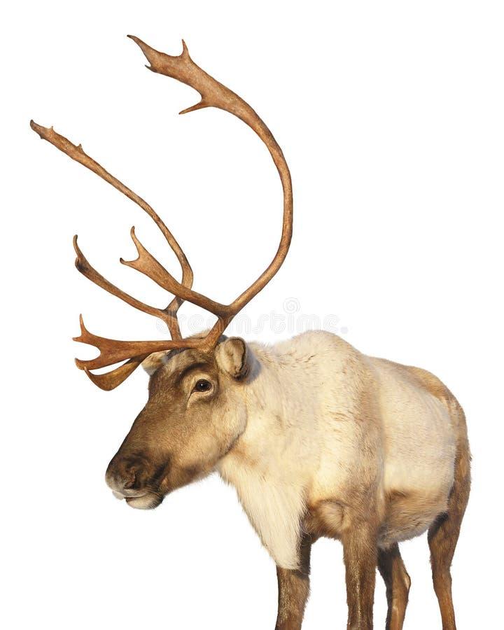 Geïsoleerdea het rendier van de kariboe het bekijken camera