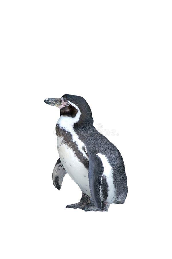 Geïsoleerdea pinguïn royalty-vrije stock afbeeldingen