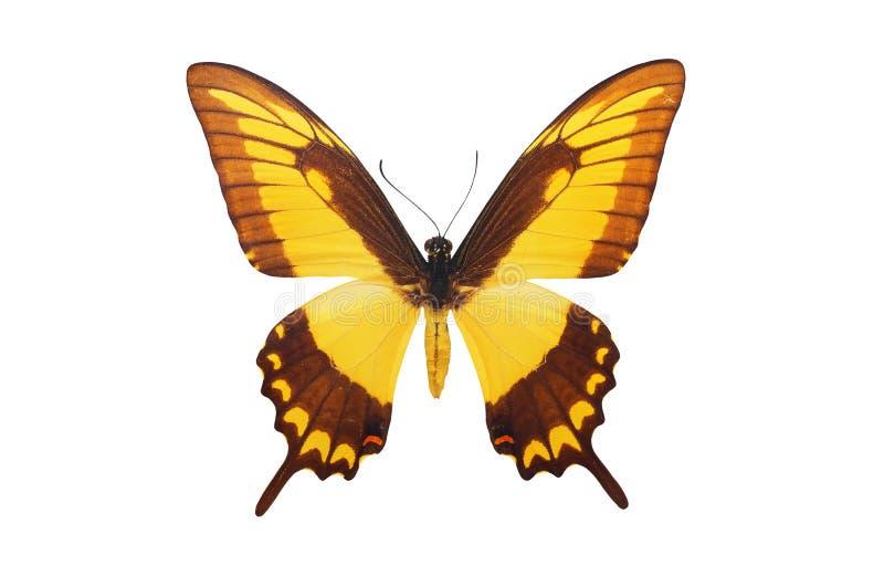 Geïsoleerdea Vlinder royalty-vrije stock afbeeldingen