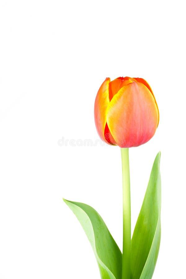 Geïsoleerded tulpenbloem royalty-vrije stock afbeeldingen