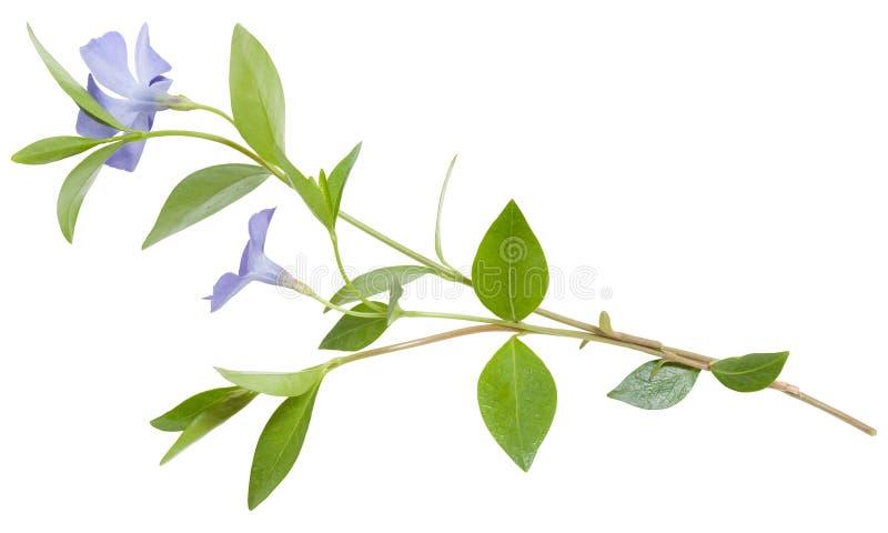 Geïsoleerdee blauwe bloemmaagdenpalm royalty-vrije stock foto