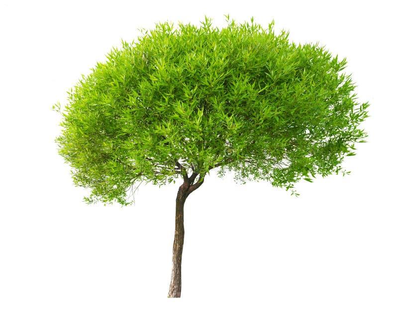 Geïsoleerdee kleine boom met jonge bladeren royalty-vrije stock afbeeldingen