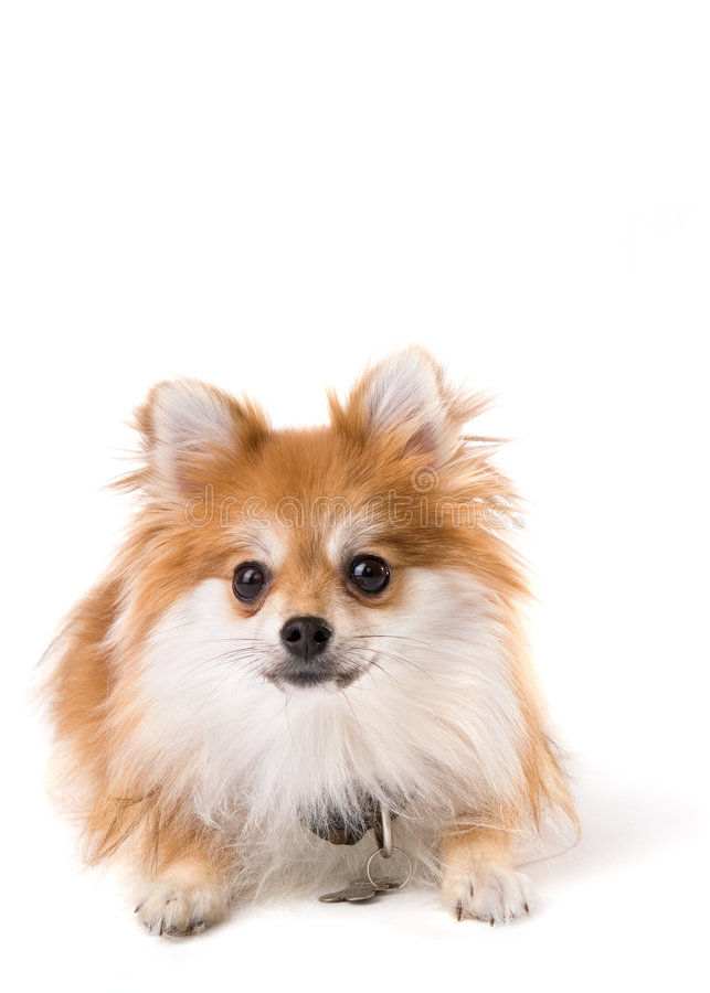 Geïsoleerdee Pomeranian royalty-vrije stock foto's