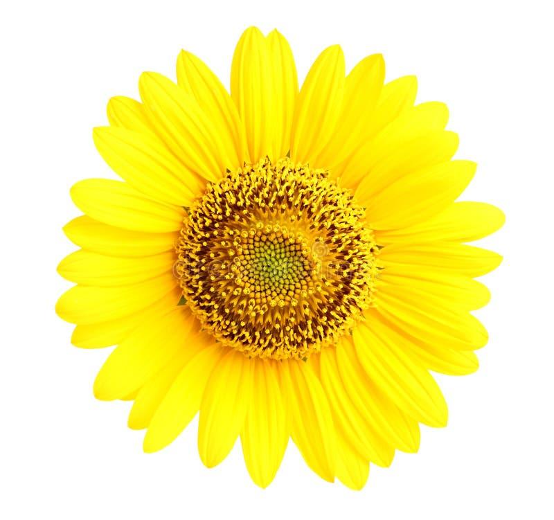 Geïsoleerdee zonnebloemclose-up stock foto's