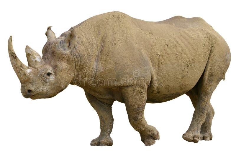Geïsoleerdee zwarte rinoceros royalty-vrije stock fotografie