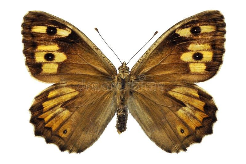Geïsoleerdef vlinder Grayling royalty-vrije stock fotografie