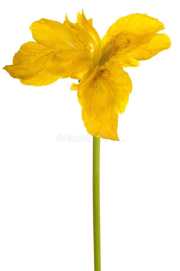 Geïsoleerdeg de bloem van de iris royalty-vrije stock afbeeldingen