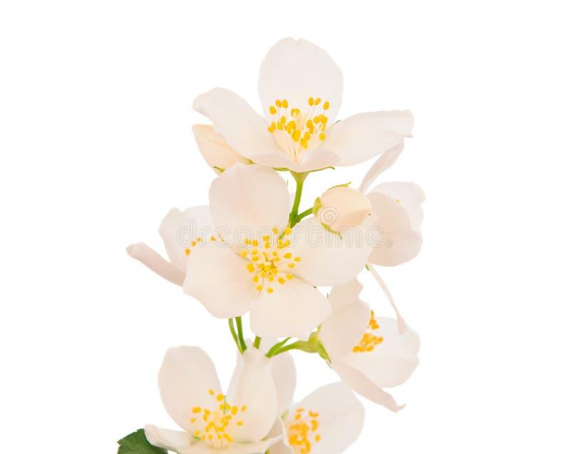Geïsoleerdeg jasmijn royalty-vrije stock fotografie
