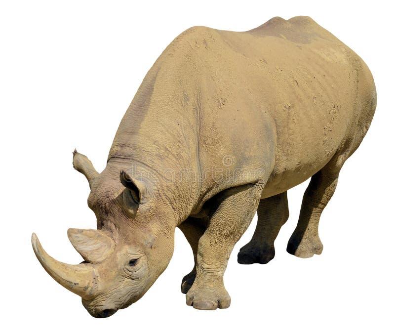 Geïsoleerdeg zwarte rinoceros stock foto