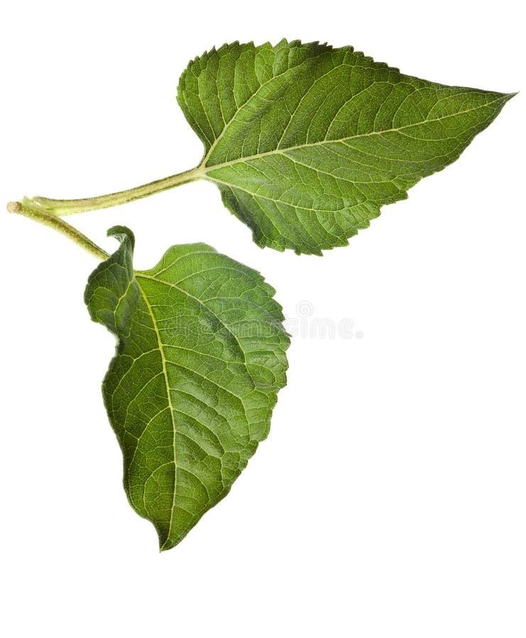 Geïsoleerdeh de bladeren van de zonnebloem royalty-vrije stock afbeelding