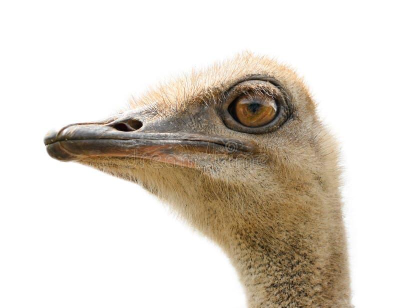 Geïsoleerdeh het hoofd van de struisvogel royalty-vrije stock afbeelding