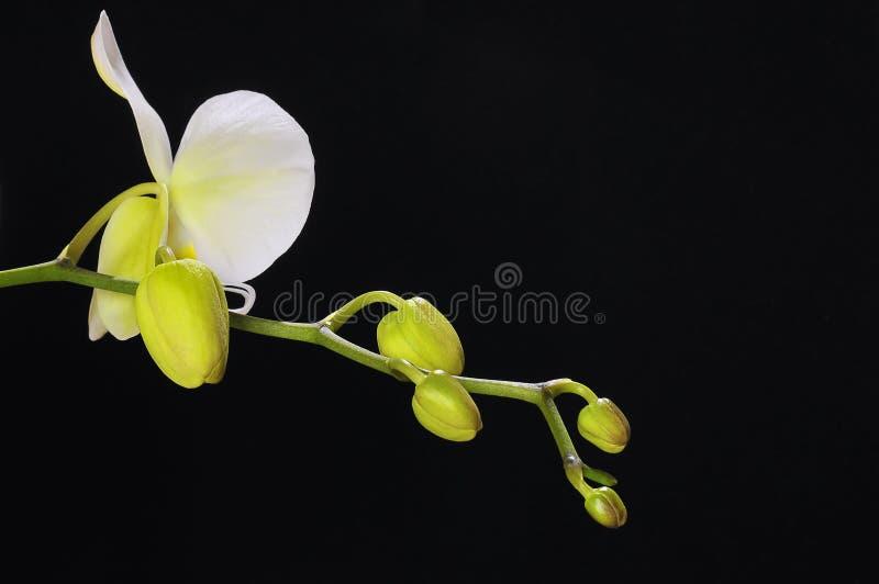 Geïsoleerdeh orchidee. stock fotografie