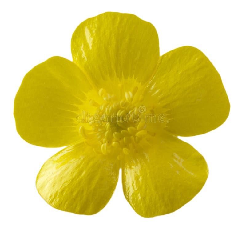 Geïsoleerdei boterbloemenbloem royalty-vrije stock afbeeldingen