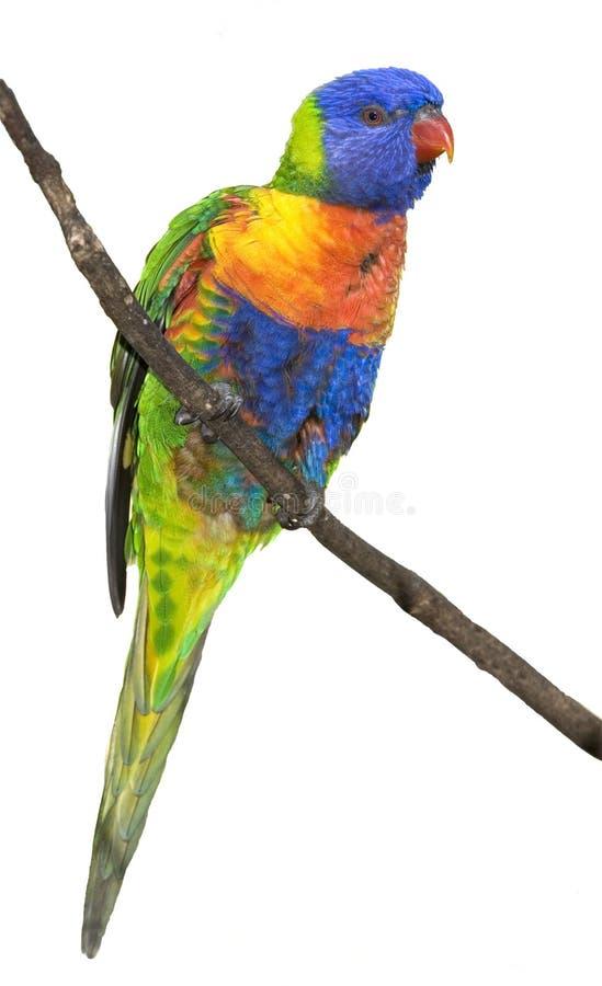 Geïsoleerdei regenboog lorikeet stock afbeeldingen