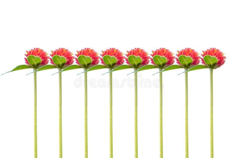 Geïsoleerdei rode bloem Strawberry Fields Rode bloemen in de zonsopgang vector illustratie