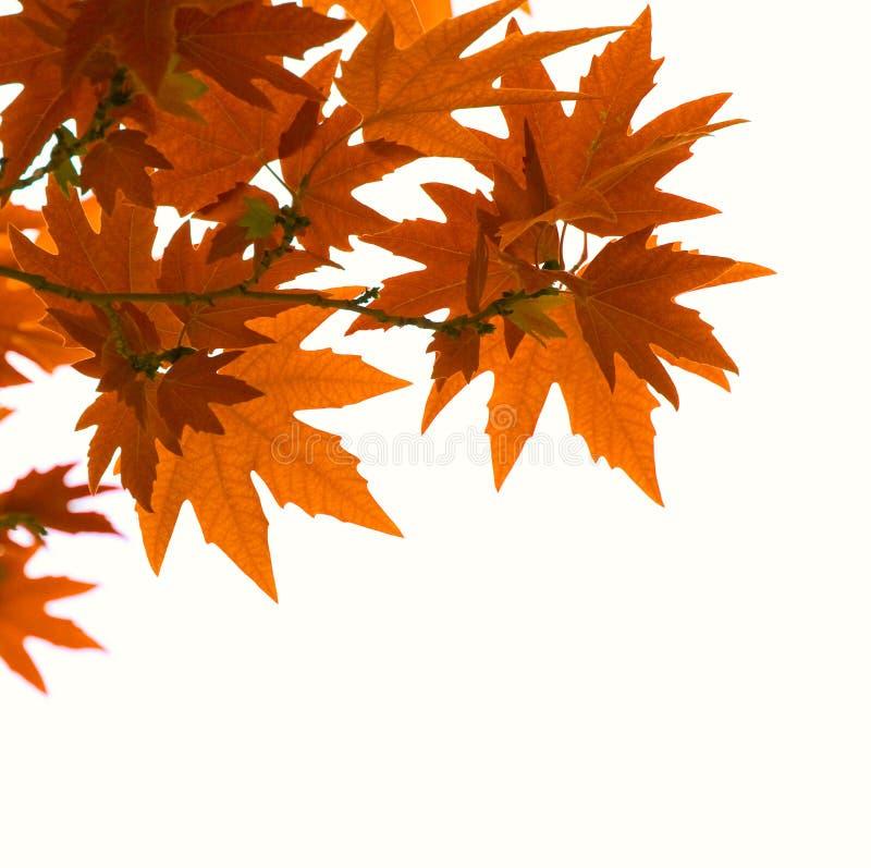 Geïsoleerdel de herfstbladeren stock afbeelding