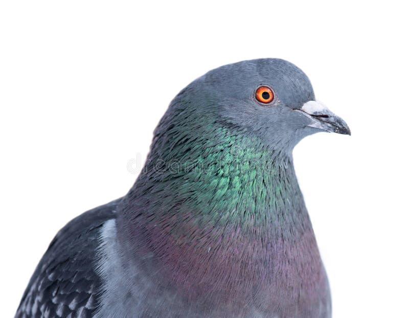 Geïsoleerdel duif stock fotografie