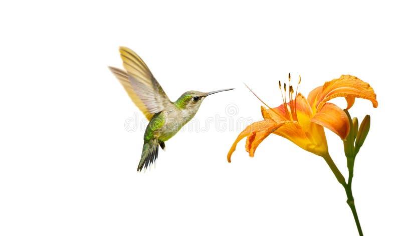 Geïsoleerdel kolibrie en lelie. royalty-vrije stock fotografie