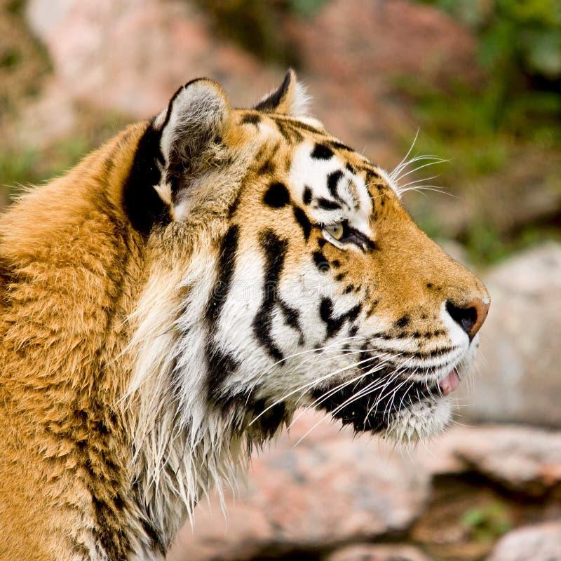 Geïsoleerden het hoofd van de tijger royalty-vrije stock fotografie