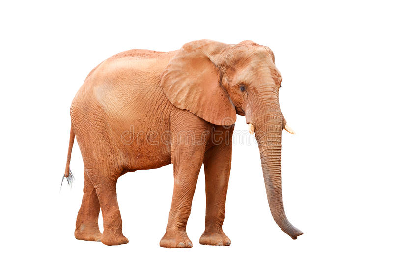 Geïsoleerden olifant royalty-vrije stock fotografie