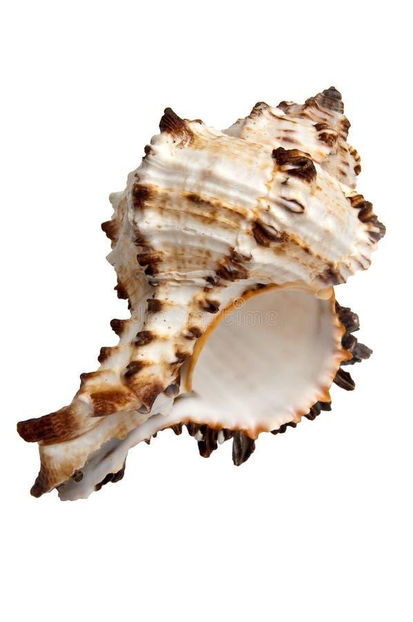 Geïsoleerden shell royalty-vrije stock fotografie