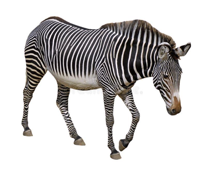 Geïsoleerden zebra Grevy stock afbeeldingen